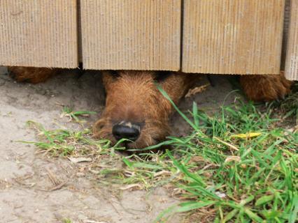 Irish Terrier lugt unter einem Tor durch